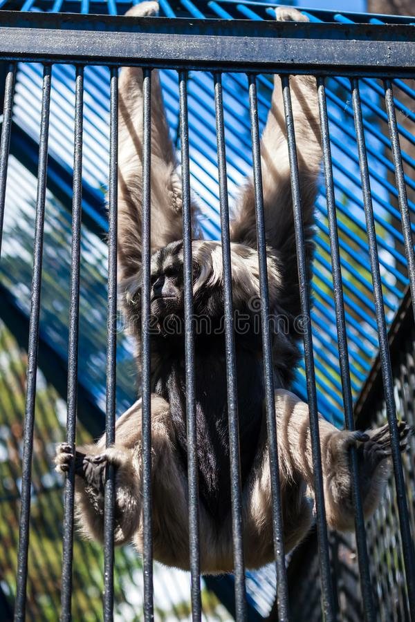 Gibbon pileated. Close-up of an adult gibbon pileated hanging on a grill in a zoo, a concept of sad gibbon behind bars stock photos