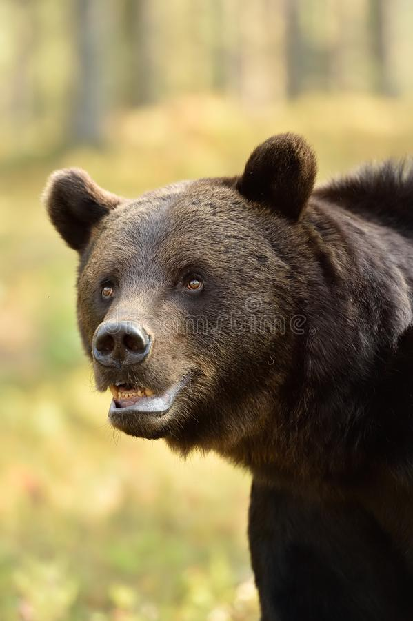Close up of adult male wild brown bear in the summer forest stock photo