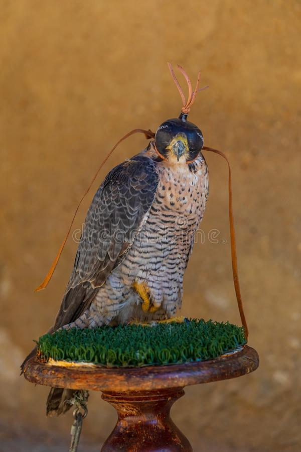 Close-up of adult Peregrine Falcon Falco peregrinus. Banding and leather cap for falconry. stock photography