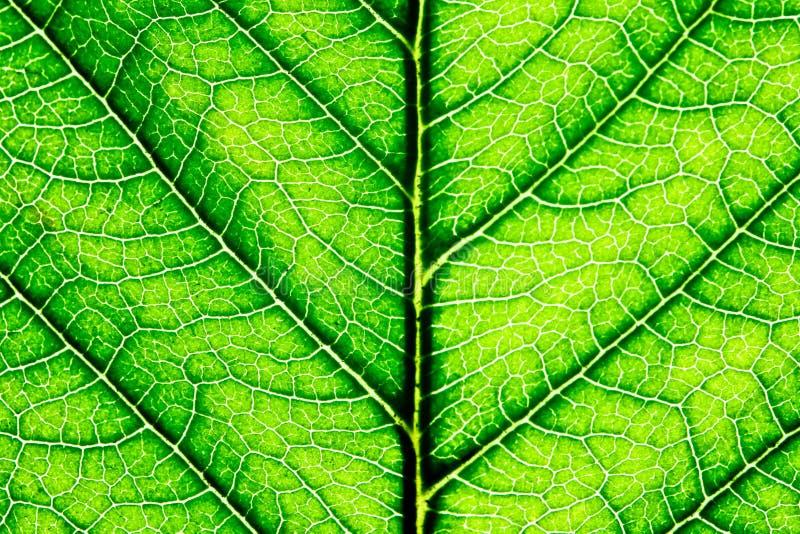 Close up afiado de uma folha verde fotografia de stock
