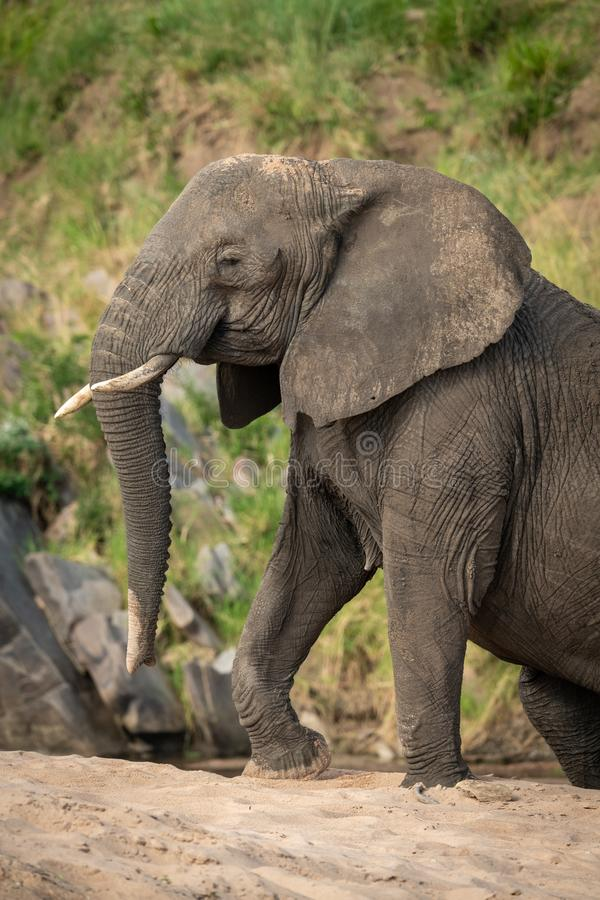 Close-up of African bush elephant climbing beach royalty free stock images