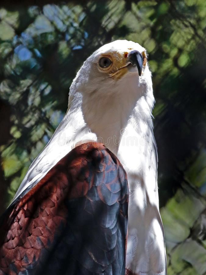 African Fish Eagle royalty free stock photography