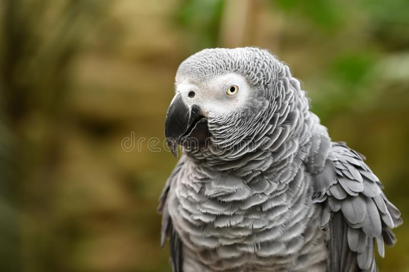 Close up of african grey parrot head, Psittacus erithacus stock image