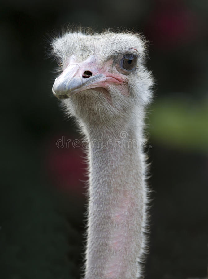 Download Close Up Of African Ostrich Stock Image - Image: 12441665