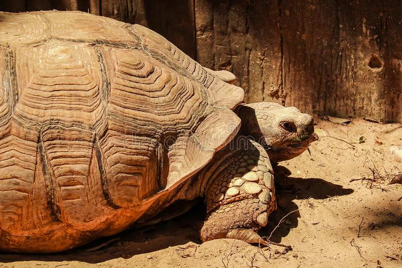 Close up African spurred tortoise resting in the garden under the warm sun light. African sulcata tortoise is a species of tortoise, which inhabits the stock images