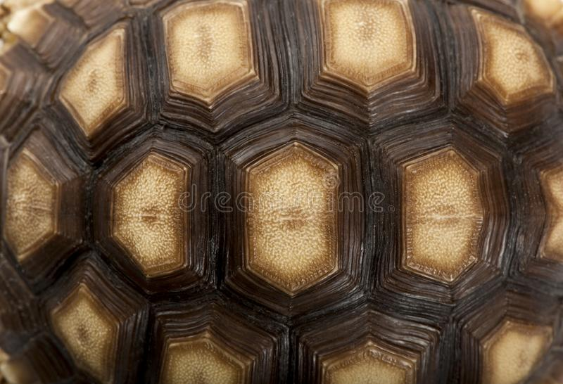 Close-up of African Spurred Tortoise shell, Geochelone sulcata. 1 year old royalty free stock photography