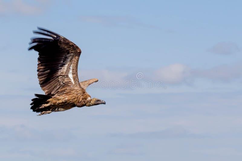 Close up africano do abutre imagem de stock