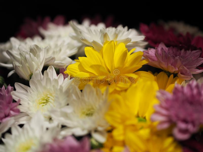 Close-up Afrikaanse Daisy, Transvaal Daisy, Gerbera-veridijolia Roze Purpere Gele Witte Bloem op Zwarte Achtergrond royalty-vrije stock afbeelding