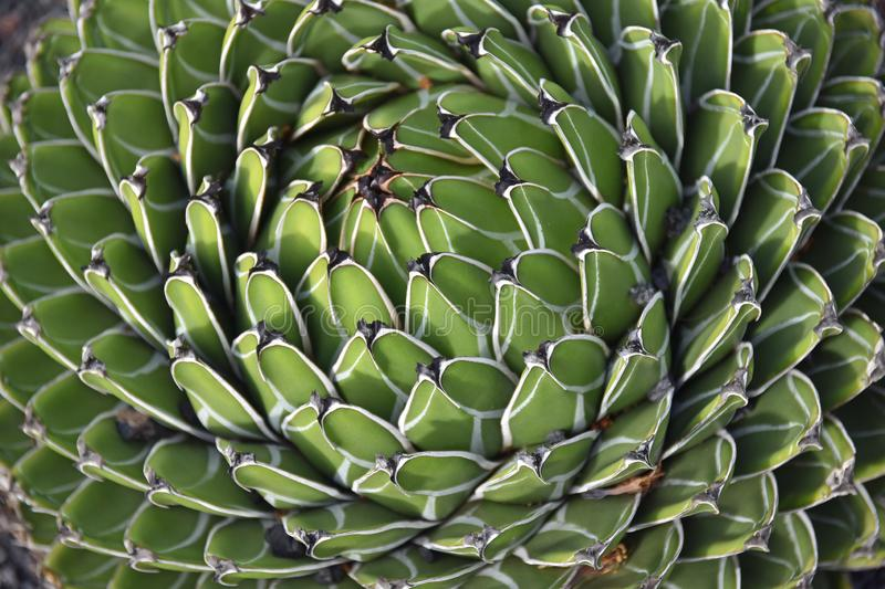 Close up of Agave Victoria Reginae cactus plant. Showing leaf spirals. Plant is in pristine condition stock photography