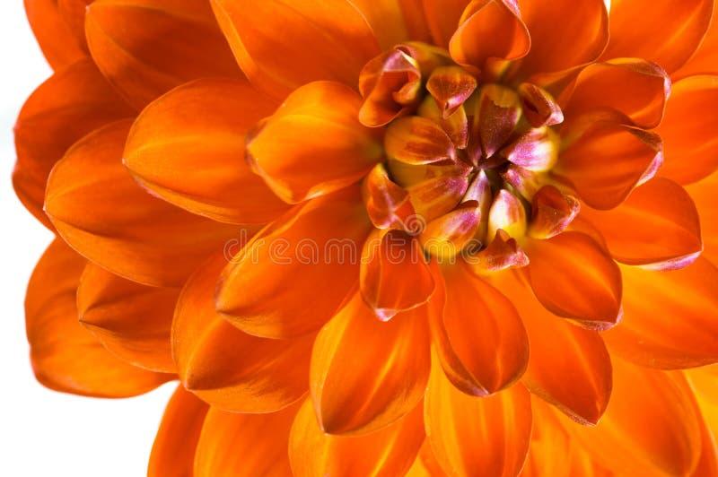 Close-up alaranjado da dália Uma flor bonita do fogo fotos de stock royalty free