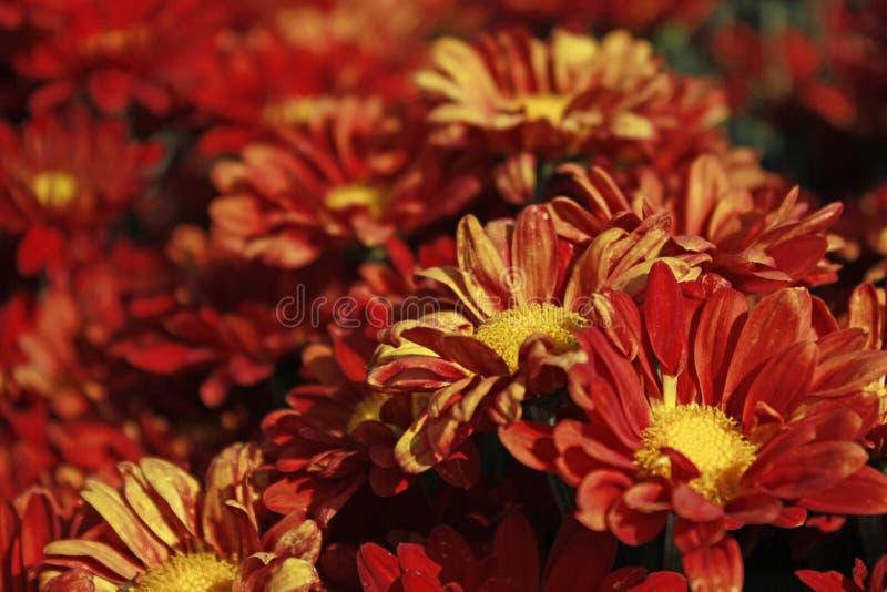 Close up alaranjado da flor no campo ao contrário fotografia de stock