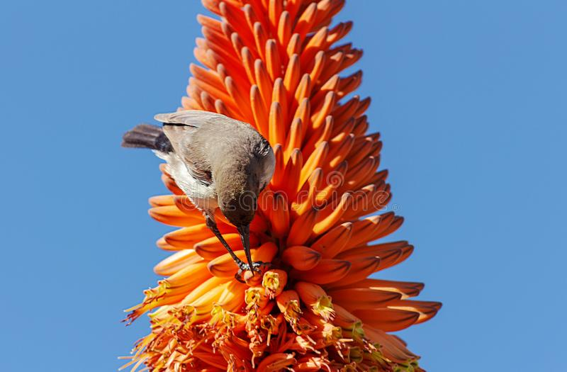 Close up of aloe orange flower and bird on blue background royalty free stock image