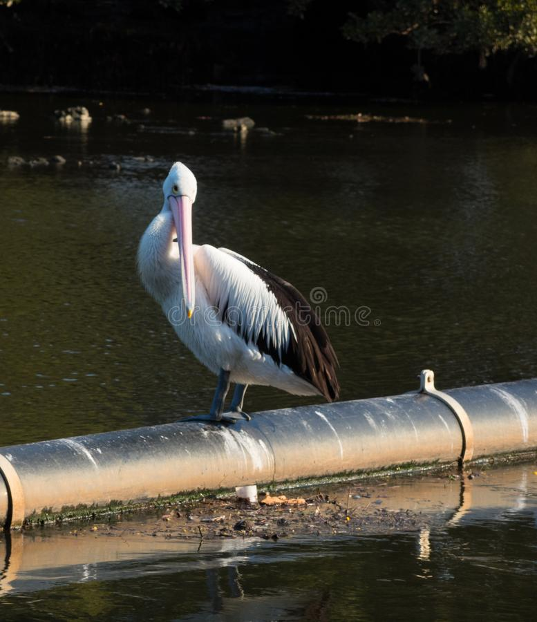 Close up alone Australian pelican staying on the pipeline at a river. A close up alone Australian pelican staying on the pipeline at a river stock photography