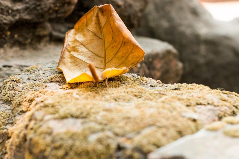 Close up alone yellow leaf on dirty old mortar at temple.  stock photo