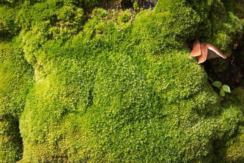 Close-up altijdgroen groen mos in aard, Mooi groen mos royalty-vrije stock afbeeldingen
