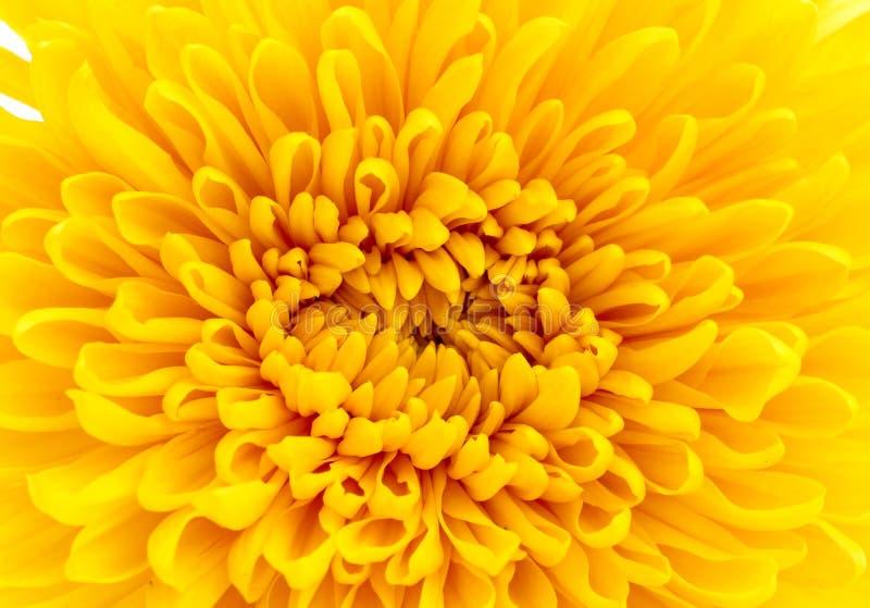 Close up amarelo bonito do crisântemo fotografia de stock