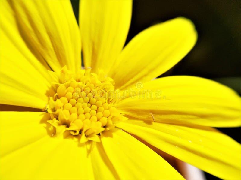 Close up amarelo brilhante da margarida da foto macro dos estames foto de stock