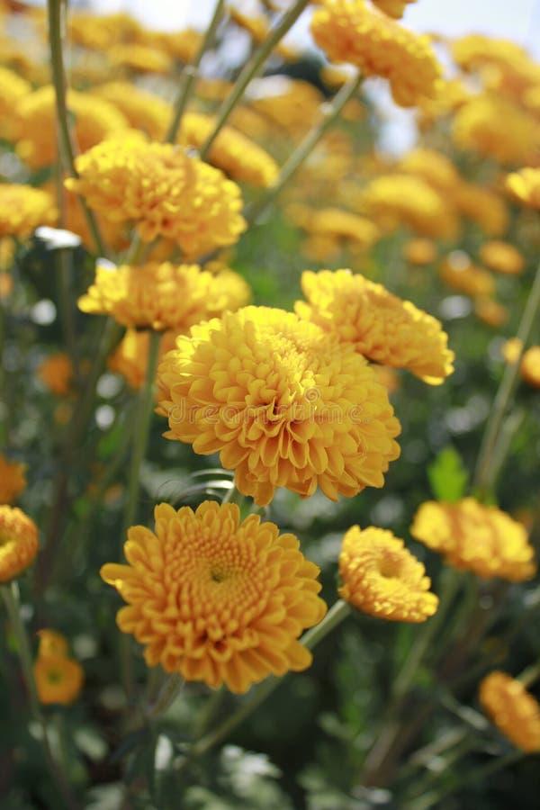 Close up amarelo da flor no campo foto de stock royalty free