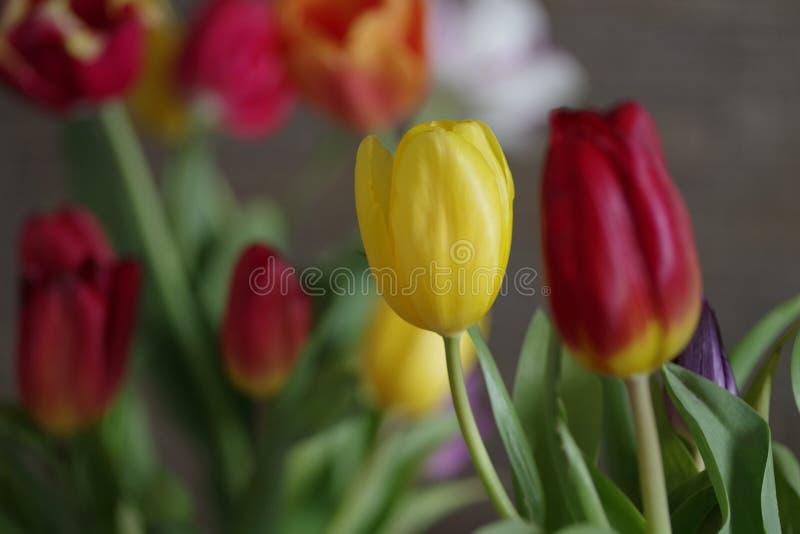 Close up amarelo da tulipa em um fundo de tulipas vermelhas foto de stock royalty free