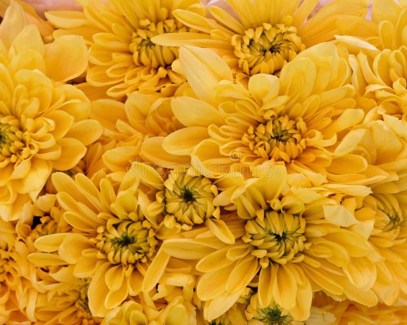 Close up amarelo das flores do crisântemo, fundo natural fotografia de stock royalty free