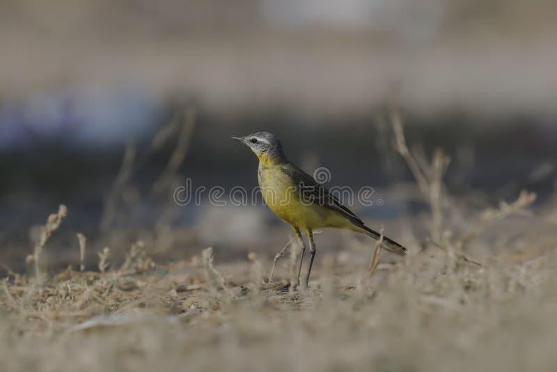 Close-up amarelo do flava do Motacilla da alvéola imagens de stock royalty free