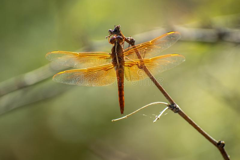 Close-up of an amber colored dragonfly stock image