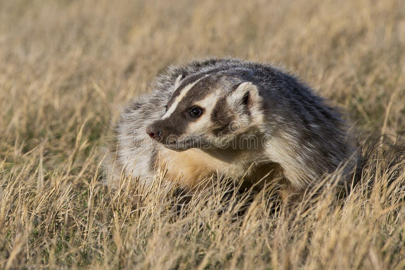 Close-up of american badger at sunrise on prairie royalty free stock photo