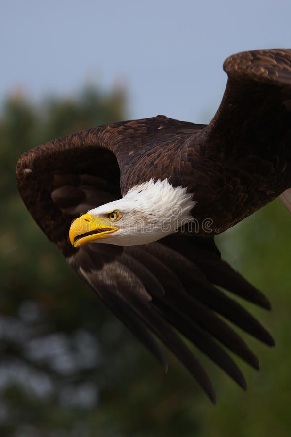 Close-up of an American Bald Eagle in flight stock image