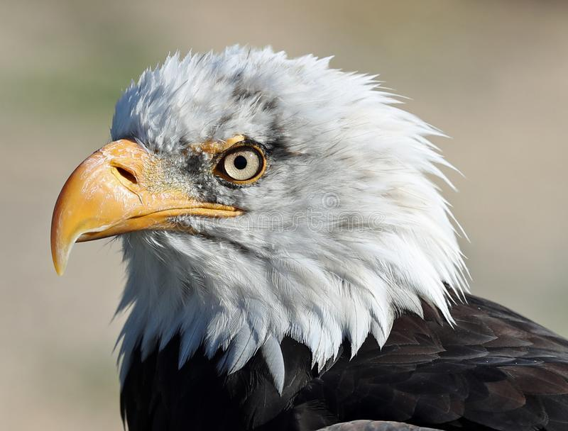 Close up of a Bald Eagle royalty free stock images
