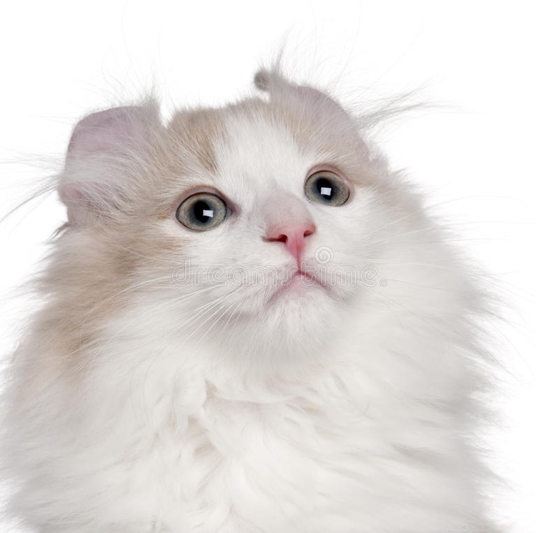 Close-up of American Curl kitten, 3 months old. In front of white background stock photo