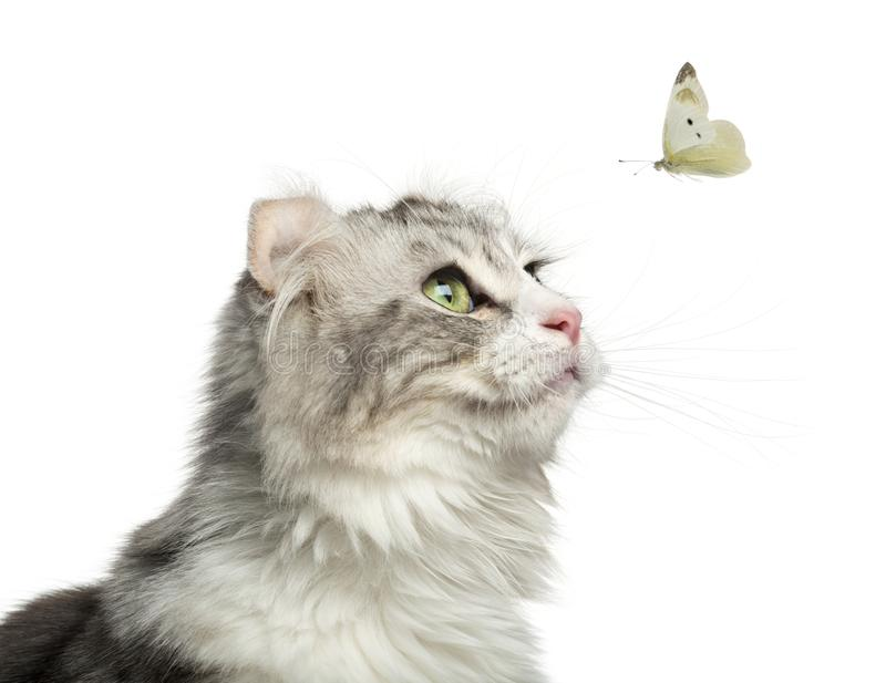 Close-up of an American Curl looking at a butterfly flying royalty free stock image