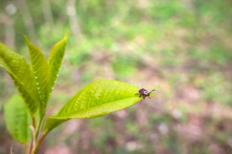 Close up of American dog tick waiting on plant leaf in nature. These arachnids a most active in spring and can be careers of Lyme. Disease or encephalitis stock photography