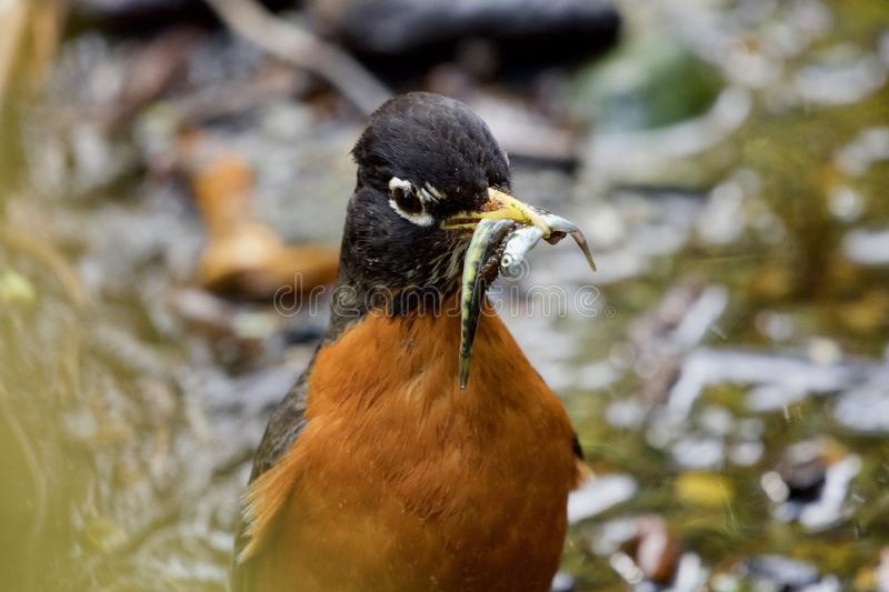 Close up of american robin with chum salmon fry in its beak stock photo