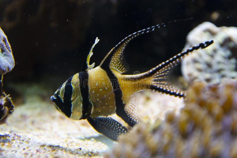 Close up angelfish in an aquarium, fresh water fish swimming royalty free stock image