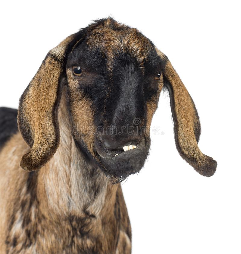 Close-up of an Anglo-Nubian goat with a distorted jaw against white background stock image