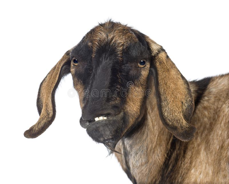 Close-up of an Anglo-Nubian goat with a distorted jaw against white background stock photography