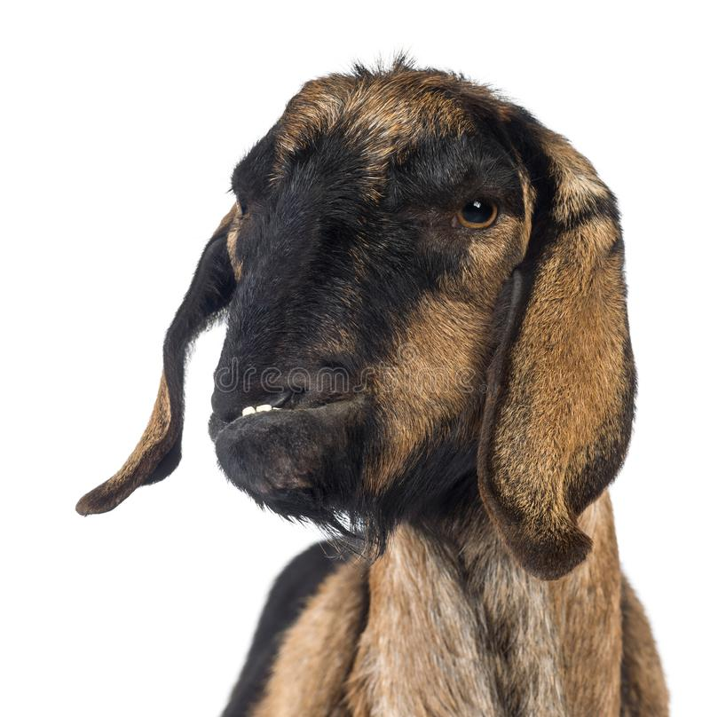 Close-up of an Anglo-Nubian goat with a distorted jaw stock image