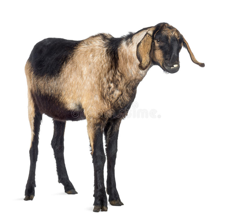 Close-up of an Anglo-Nubian goat with a distorted jaw, looking away royalty free stock photos