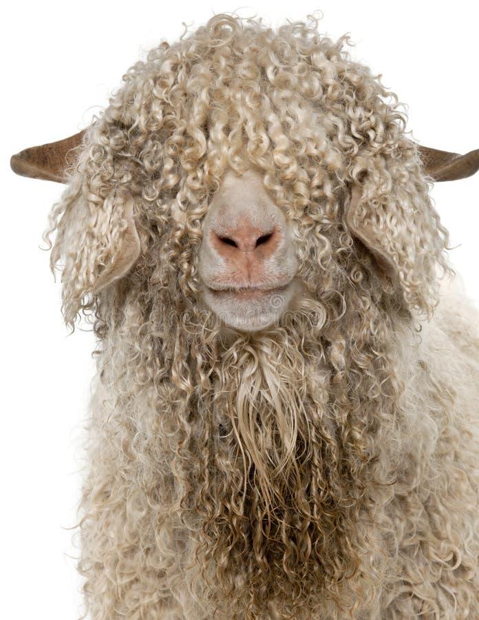 Close-up of Angora goat stock photo