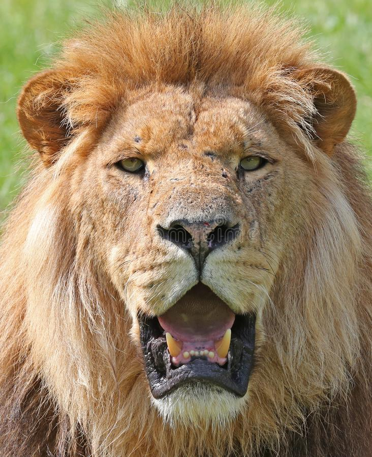Angry Lion Stock Images - Download 4,158 Royalty Free Photos