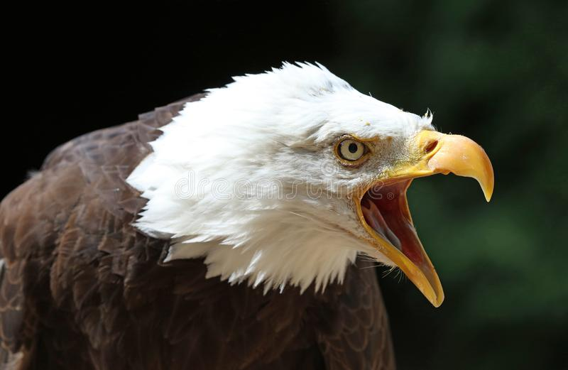 Close up of an angry Bald Eagle calling royalty free stock image