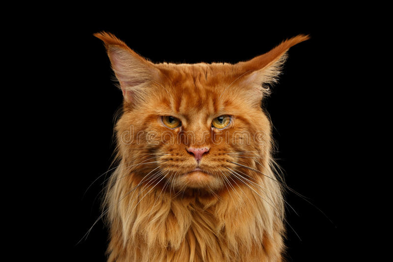 Close-up Angry Red Maine Coon Cat Looks Camera, Isolated Black stock photo