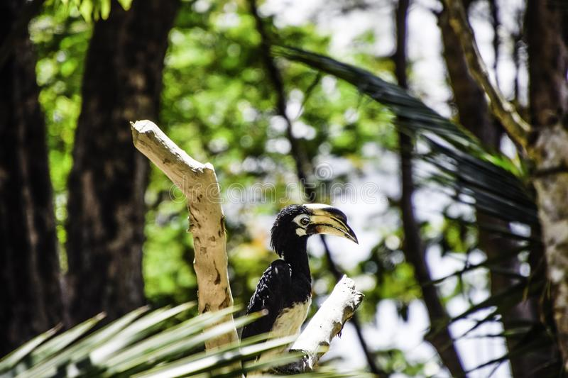Close up of Animal : Bird - Oriental Pied Hornbill in the afternoon. Close up of Animal : Bird - Oriental Pied Hornbill on the wood in the afternoon ,  bokeh royalty free stock images