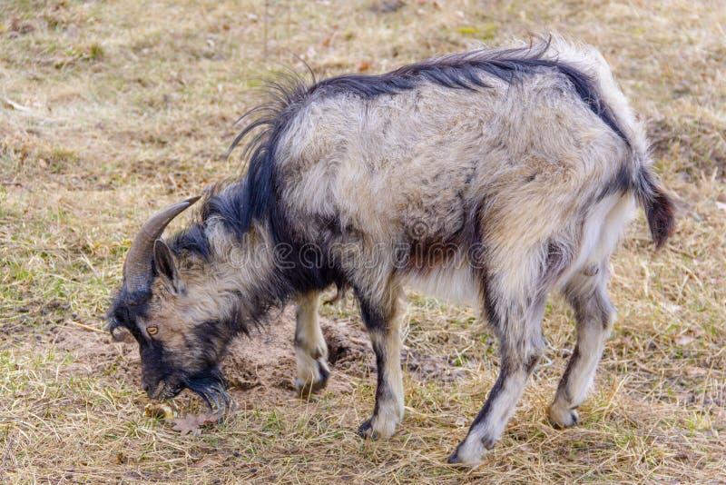 Close-up animal da cabra em um fundo da grama amarela do outono - exploração agrícola, paisagem rural fotografia de stock royalty free