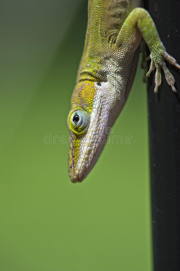 Close up Anole stock images