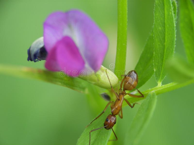 Close-up of ant on flowers. Plant purple royalty free stock photo