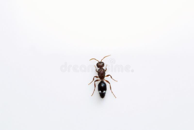 Ant, Bangalore , India. Close-up of ant, studio shot, Bangalore India stock photography