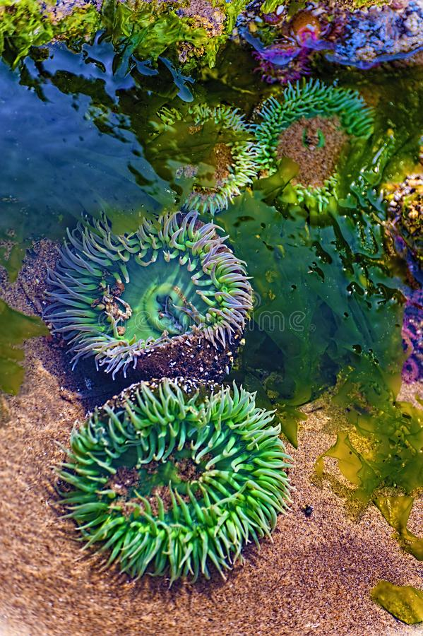 Anemones in tide pool water royalty free stock photo