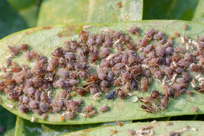 Close up aphids damage leaves parasite pest. Aphidoidea colony damages trees in the garden by eating leaves stock image