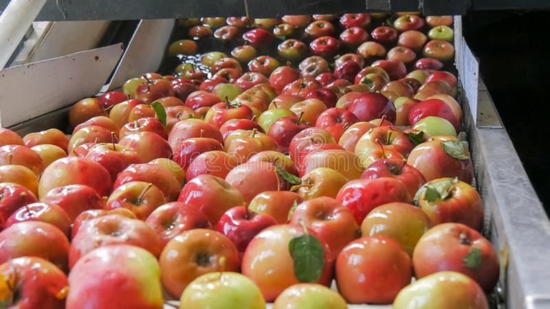 Close up of apples being washed and traveling up a conveyor belt in a tasmanian apple packing shed stock photo